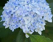 Periwinkle Blue Hydrangea Print by Bonnie Bruno
