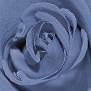 Carolyn Stagger Cokley - periwinkle rose