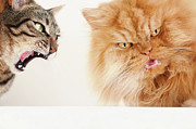 Tabby Prints - Persian Cat And Tabby Cat Print by Hulya Ozkok