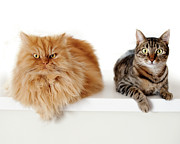 Domestic Animals Posters - Persian Cat And Tabby Cat Together Poster by Hulya Ozkok