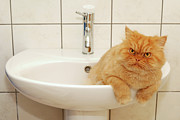 Domestic Bathroom Posters - Persian Cat In The Sink Poster by Hulya Ozkok