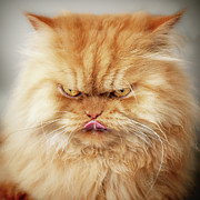 Persian Posters - Persian Cat Looking Angry Poster by Hulya Ozkok