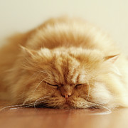 Whisker Posters - Persian Cat Sleeping Poster by Hulya Ozkok