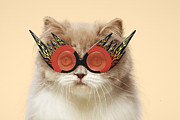 Attitude Photos - Persian Cat Wearing Flaming Eye Glasses by GK Hart/Vikki Hart