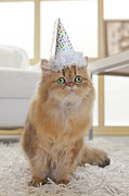 Party Hat Framed Prints - Persian Cat Wearing Party Hat In Living Room Framed Print by GK Hart/Vikki Hart