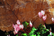 National Memorial Prints - Persian Cyclamen Print by Thomas R Fletcher
