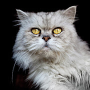 Staring Cat Photos - Persian Gray Cat by Rogdy Espinoza Photography