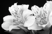 Photographs Of Flowers Posters - Peruvian Lilies Botanical Black and White Print Poster by James Bo Insogna
