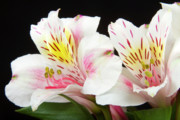 Photographs Of Flowers Prints - Peruvian Lilies Colorful Botanical Fine Art Print Print by James Bo Insogna