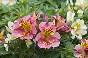 Lily Of The Incas Prints - Peruvian Lily Alstroemeria Sp Princess Print by VisionsPictures