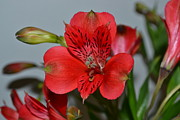 Lily Of The Incas Photos - Peruvian Lily by Linda Cook