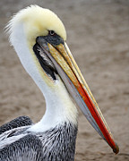Chile Framed Prints - Peruvian Pelican Framed Print by RicardMN Photography