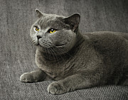 Grey Prints - Pet Portrait Of British Shorthair Cat Print by Nancy Branston