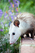 Possum Photos - Pet Possum by Grove Pashley