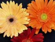 Gerbera Art - Petal Fireworks by Richard Mansfield