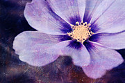 Purple Flower Photos - Petaline - 06bt04b by Variance Collections