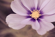 Flower Photography Prints - Petaline - p04a Print by Variance Collections