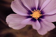 Floral Photography Prints - Petaline - p04d Print by Variance Collections