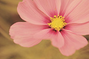 Soft Pink Metal Prints - Petaline - p05a Metal Print by Variance Collections