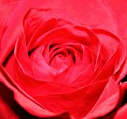 Decor Photography Prints - Petals of Red Print by Cathie Tyler