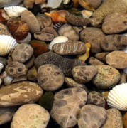 Pebbles Posters - Petoskey Stones with Shells l Poster by Michelle Calkins