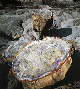 Petrified Posters - Petrified Wood Poster by Photo Researchers
