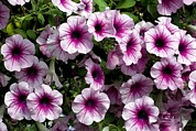 Petunia Photos - Petunia Flowers by Dirk Wiersma