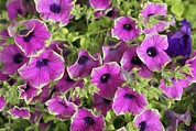 Petunia Photos - Petunia Flowers by Tony Craddock