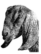 Goat Drawings - Petunia by Kean Butterfield