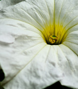 Petunia Photos - Petunia by Matthew Trudeau