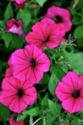 Petunia Photos - Petunias by Betty LaRue