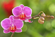Moth Orchid Photos - Phalaenopsis by MaViLa