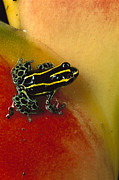 Animalsandearth Photos - Phantasmal Poison Dart Frog by Mark Moffett