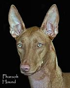Pharaoh Framed Prints - Pharaoh Hound Framed Print by Larry Linton