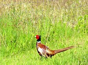 Pheasant Photos - Pheasant Country by Will Borden