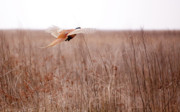 Pheasant Photos - Pheasant in flight by Gabriela Insuratelu