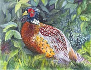 Pheasant Drawings Prints - Pheasant In The  Grass Print by Carol Wisniewski