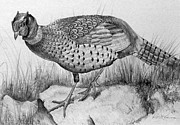 Black Ring Drawings - Pheasant in the Wild by Roy Kaelin