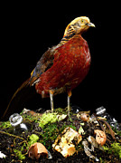 Black Top Posters - Pheasant Standing On Top Of Compost Heap Poster by Jeffrey Hamilton