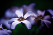 Phlox Photo Prints - Pheeling Phloxy Print by Lois Bryan