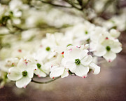 Dogwood Blossom Metal Prints - Philadelphia Dogwood Metal Print by Lisa Russo