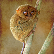 Asien Framed Prints - Philippine Tarsier Framed Print by Joerg Lingnau
