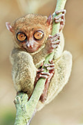 Alien Eyes Photos - Phillipine tarsier by MotHaiBaPhoto Prints