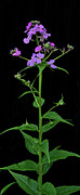 Botanica Photos - Phlox by Michael Peychich