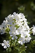 Phlox Framed Prints - Phlox Paniculata fujiyama Framed Print by Dr Keith Wheeler