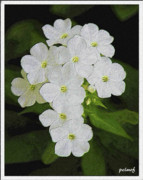 Phlox Framed Prints - Phlox Framed Print by Patricia Fatta