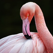 Feather Prints - Phoenicopterus Print by QuimGranell