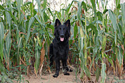Indiana German Shepherds Framed Prints - Phoenix in the Cornfield Framed Print by Sandy Keeton
