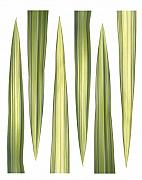 Tara Gill Art - Phormium tenax   New Zealand Flax by Tara Gill