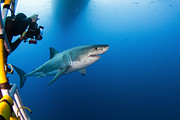 Carcharodon Prints - Photographer Taking A Picture Of A Male Print by Todd Winner